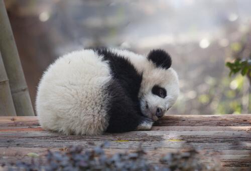 Amenazas del oso panda