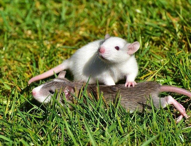 Audición de la rata