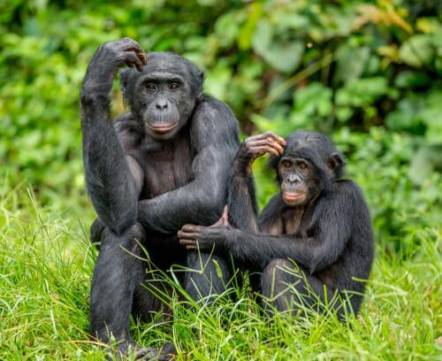 Bonobo y cría