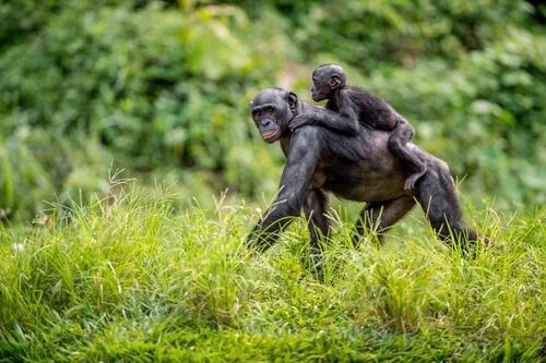 Las madres bonobo ayudan a ligar a sus hijos