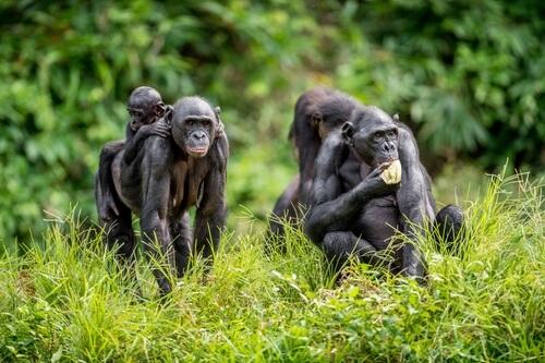 Bonobós ligando