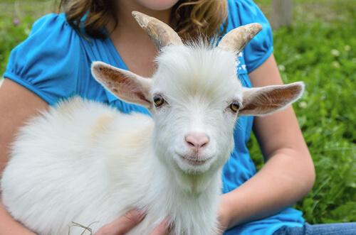 La cabra enana: un adorable animal para tener en casa