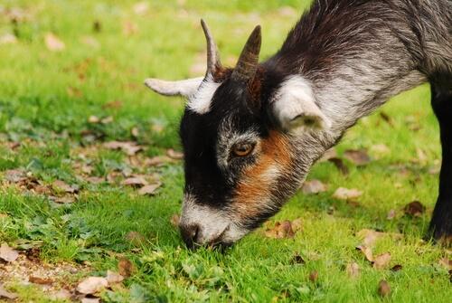 Cabra pastando