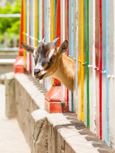 Cabra pigmea