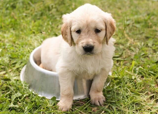 Cachorro de labrador retriever