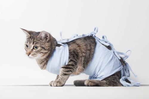 Castración del gato hembra
