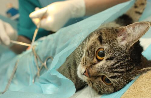 Castración del gato macho