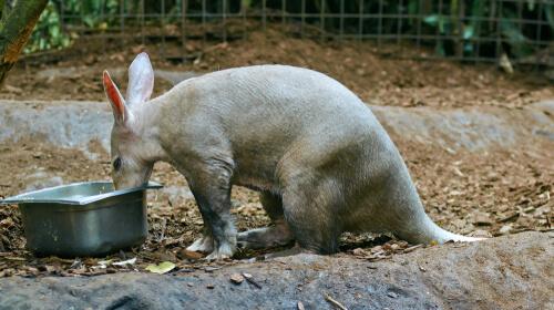 Cerdo hormiguero alimentándose