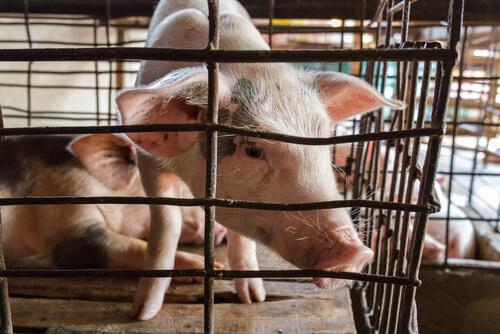 Cerdos en jaulas