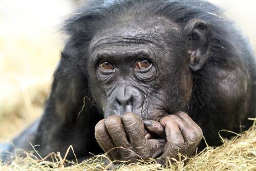 Chimpancé híbrido