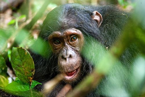 Los chimpancés usan herramientas en el zoo