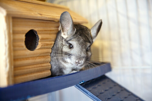 Chinchilla doméstica