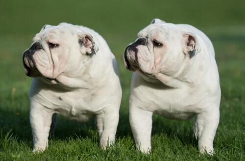 Clonación en perros