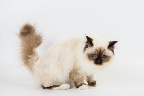 ¿Cómo cepillar a tu gato birmano?