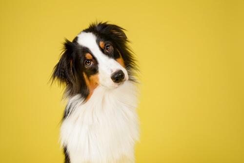 ¿Cómo reconocer una raza de perro?
