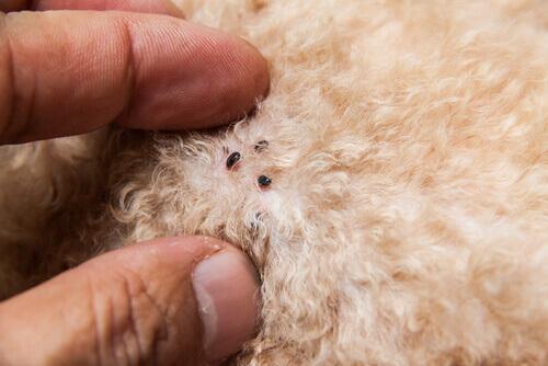 Comprobar si tu mascota tiene pulgas