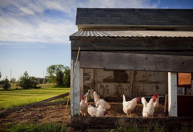 7 consejos para criar pollos en la ciudad