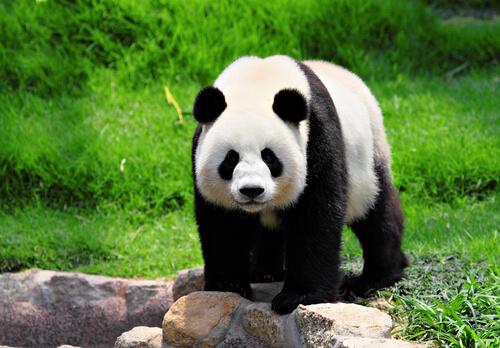 Curiosidades del oso panda
