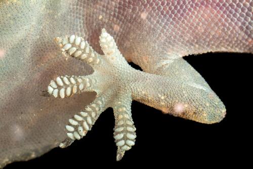 Dedos de los geckos