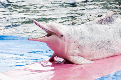 Delfín chino: comportamiento