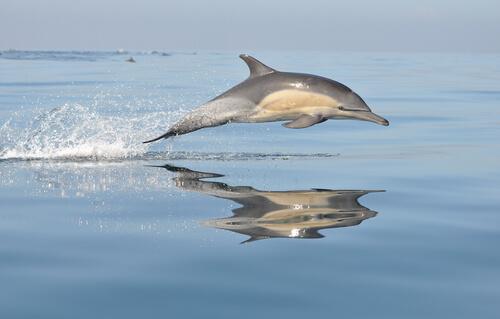 Delfín común: características