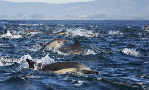 Delfín común: comportamiento