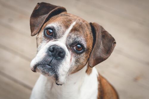 Disfunción cognitiva canina