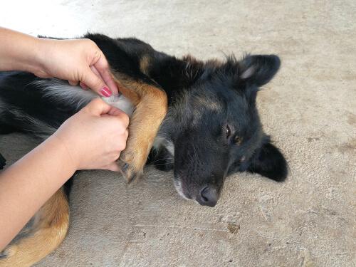 Ehrlichiosis del perro: tratamiento