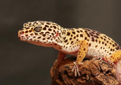 El gecko leopardo: cría y diseño del terrario