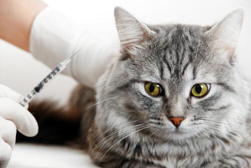 Fibrosarcoma del gato: cuidados