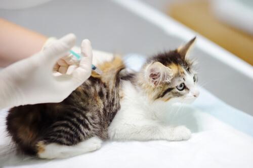 Fibrosarcoma del gato: tratamiento y cuidados