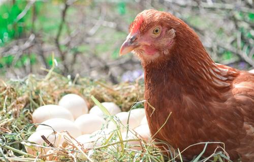Gallina y sus huevos