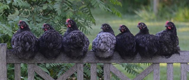 7 cosas que debes saber antes de instalar un gallinero en tu jardín
