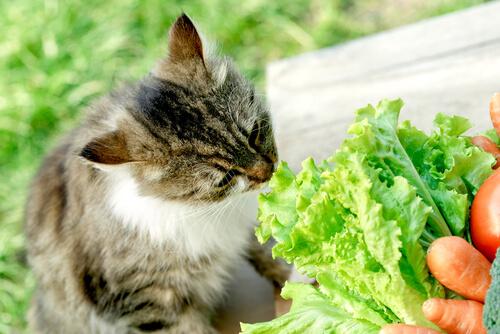 Gato vegano