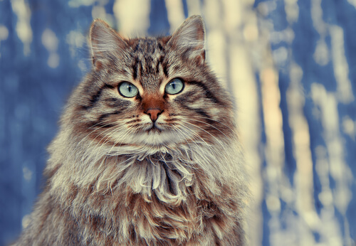 Gatos con pelo largo: bosque de Siberia