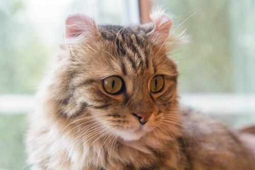 Gatos con pelo largo: curl americano