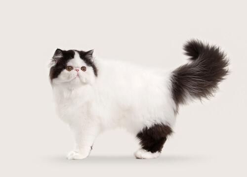 10 razas de gatos con pelo largo