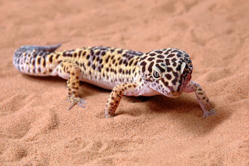 Gecko leopardo: terrario