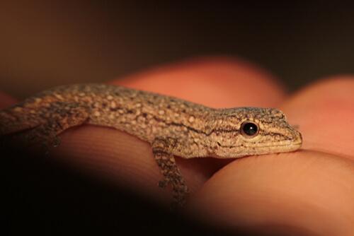 Geckos: alimentación y características