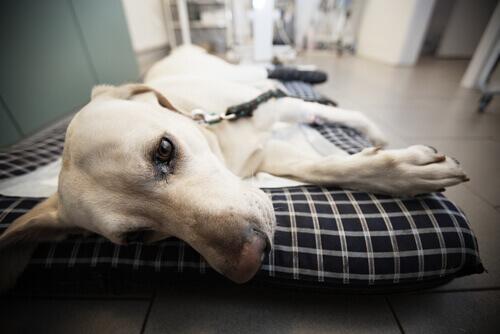 Hepatitis canina contagiosa: síntomas y causas