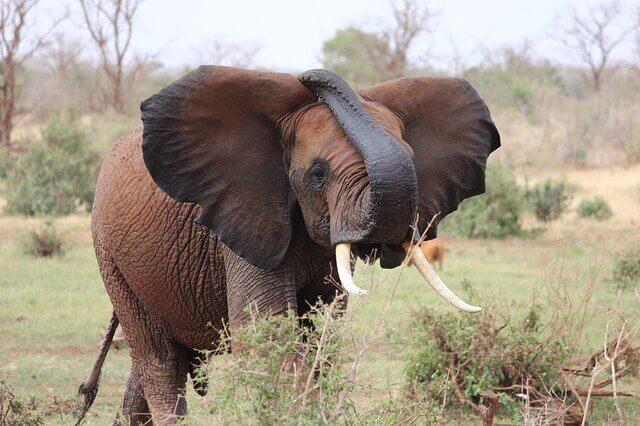 Infrasonidos del elefante