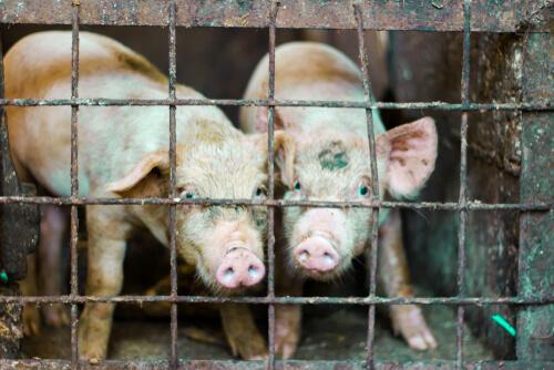 ¿Fin de las jaulas de animales en Europa?