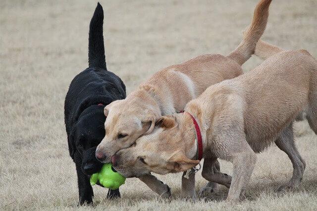 Juegos con otros perros