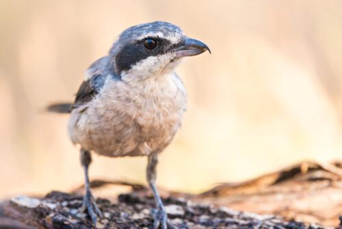 Alcaudón real: el ave carnicera