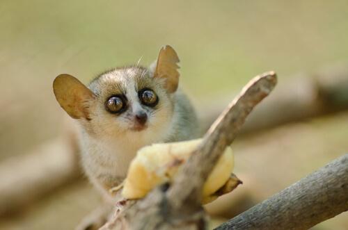 Lémur ratón de Arnhold (Microcebus arnholdi)