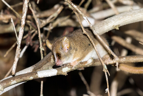 Lémur ratón de Berthe (Microcebus berthae)