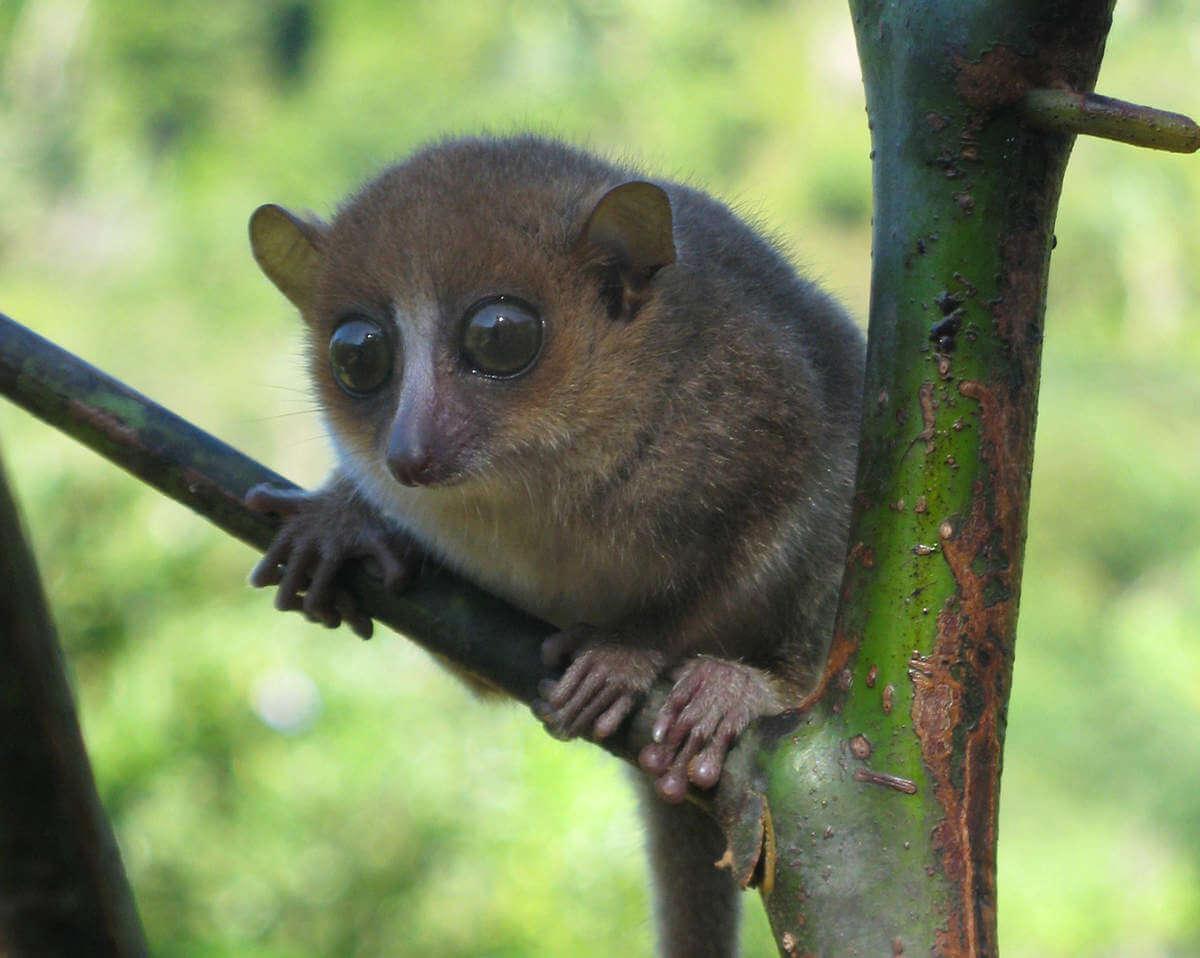 Lémur ratón de Gerp (Microcebus gerpi)