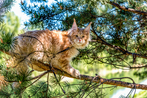 The maine coon.