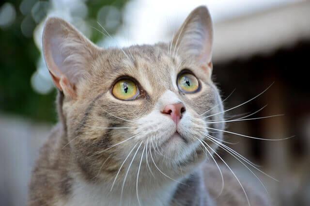 Mascotas más cariñosas: gato