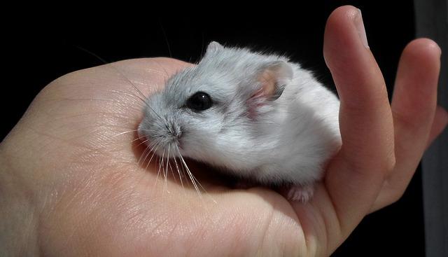 Mascotas más cariñosas: hámster